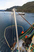Commercial fishing with net full of Herring on the F/V Ace, offloads to tender during the Sitka sac roe herring fishery, Sitka Sound, southeast, Alaska