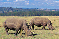 White Rhinoceros grazing in Lake Nakuru National Park, Kenya.