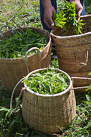 France, île de la Réunion, Saint-Joseph, Grand Coude: Plantation de thé: le labyrinthe en-champ-thé, cueillette du thé blanc  //  France, Reunion island (French overseas department), Saint Joseph, Grand Coude, picking white tea