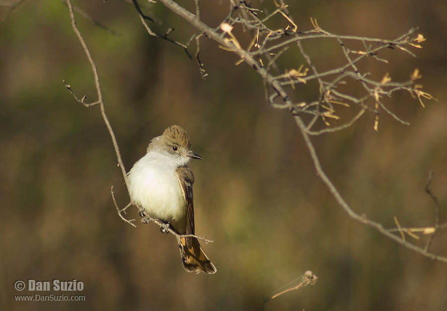 Ash-throated flycatcher, Myiarchus cinerascens. Pena Blanca Lake, Coronado National Forest, Arizona