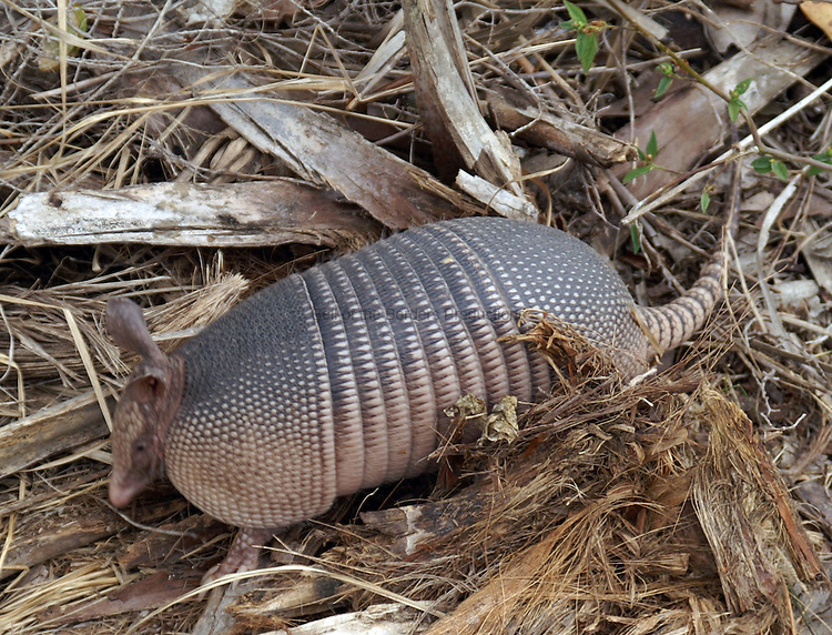Armadillo looking for lunch