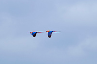 scarlet macaw, Ara macao, flying, Tambopata National Reserve, Madre de Dios Region, Tambopata Province, Peru, Amazonia