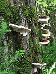 Mushrooms Cling To The Mossy Trunk Of A Tree Along A Hiking Trail In The Pictured Rocks National Lakeshore, Upper Peninsula, Michigan, USA : Low Res File - 8X10 To 11X14 Or Smaller, Larger If Viewed From A Distance