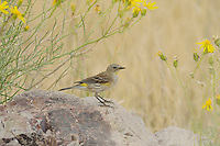 Yellow-rumped Warbler (Dendroica coronata), adult, Chisos Basin, Chisos Mountains, Big Bend National Park, Chihuahuan Desert, West Texas, USA