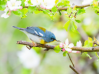northern parula, Setophaga americana, warbler perched in springtime flowering apple tree, Nova Scotia, Canada