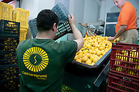 The IGP lemons being packed for consignment at Costieragrumi De Riso, part of the Consorzio di Tutela Limone Costa d' Amalfi IGP, Maiori, Amalfi Coast, Italy