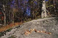 Southern Copperhead (Agkistrodon contortrix contortrix), adult sunning on rock, Raleigh, Wake County, North Carolina, USA