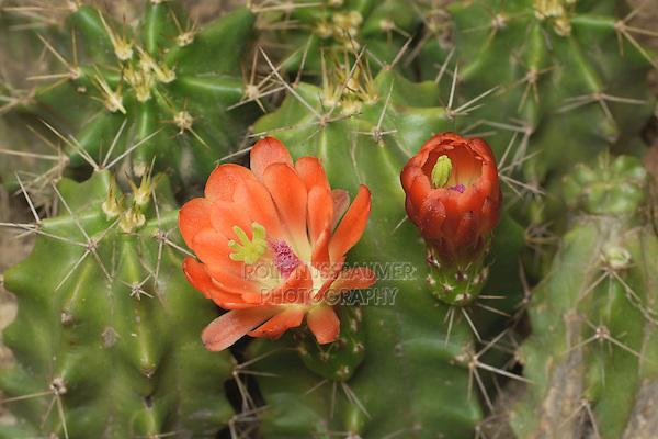 Claret Cup Cactus (Echinocereus triglochidiatus), bloom opening, series, Hill Country, Texas, USA