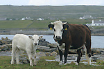 Veau sur l'île d'Insihmore.Calf on the Inishmore island