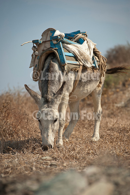 A donkey with pack saddle ready to work near Pano Meria, Folegandros, Cyclades, Greece