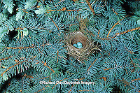 01592-01020 Chipping Sparrow (Spizella passerina) nest with 3 eggs   IL