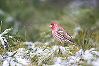 01643-01410 House Finch (Haemorhous mexicanus) male in pine tree in winter snow Marion Co. IL
