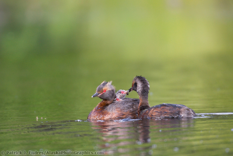 Horned Grebe, Fairbanks, Alaska