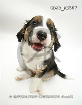 Kim, ANIMALS, fondless, photos, dog(GBJBAK507,#A#) Tiere ohne Fond, animales sind fondo