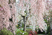 Weeping Higan Cherry tree (Prunus subhirtella 'Pendula') in spring at Filoli estate garden with white flowers