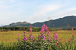 IMAGES OF THE YUKON,CANADA , FIREWEED