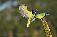 Green Jay (Cyanocorax yncas), pair, Dinero, Lake Corpus Christi, South Texas, USA