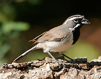 Black-throated sparrow adult eating seed