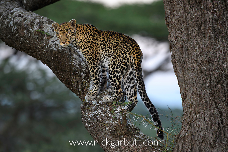 Female leopard (Panthera pardus) climbing an Acacia tree. Woodland on the edge of the short grass plains of the Serengeti / Ngorongoro Conservation Area (NCA) near Ndutu, Tanzania.