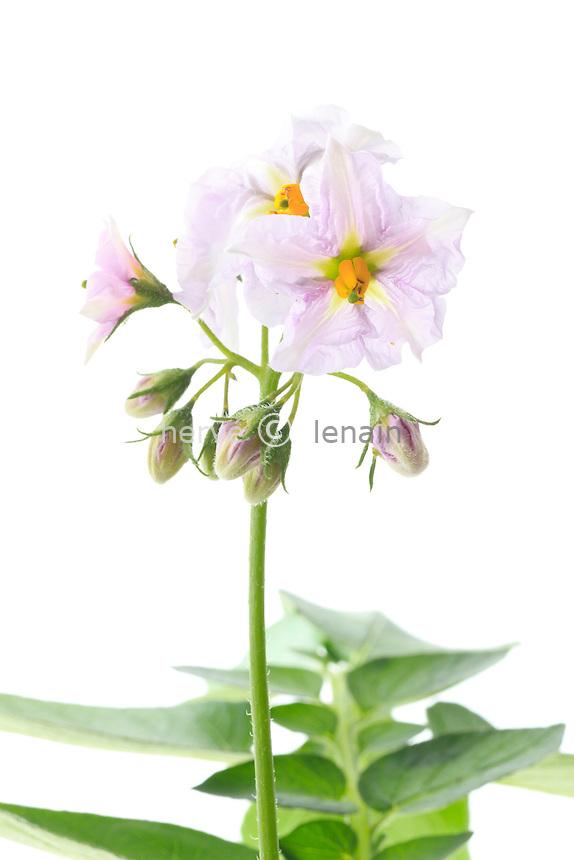 Pomme-de-terre 'Charlotte' en fleurs // flowers of potato 'Charlotte'.