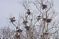 A rookery of Blue Herons on Grand Lake in Oklahoma