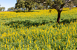 Springtime landscape Montado agroforestry system traditional system of agriculture with low density trees and pasture. Yellow flowers of lupin plants, ( Lupine Albus ) growing in a field with cork oak trees, ( Quercus suber L ), near Viana do Alentejo, Portugal, Southern Europe