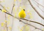 American Goldfinch (Carduelis tristis) male in early spring with newly-emerged poplar leaves, Freeville, New York, USA