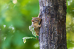 Young eastern chipmunk licking tree sap in northern Wisconsin.