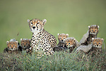 Pictured:  The Cheetah mother with her seven cubs, the seventh one hiding out of view at the back.<br /> <br /> A family of newborn cheetah cubs crouch together and look innocently out at the world around them.  Cheetahs usually give birth to a litter of three to five cubs, and because the young are very vulnerable to predators, such as lions and leopards, many are killed before they reach adulthood.<br /> <br /> This family is made up of a mother, Siligi (meaning hope in Swahili) and her seven cubs, six of whose faces can be seen in the photo with the seventh lying just visible behind them.  Rangers have been protecting Siligi and her cubs since she gave birth in an area of deserted grassland called Kisincha, in the Masai Mara, Kenya.  SEE OUR COPY FOR DETAILS.<br /> <br /> Please byline: Antonio Liebana/Avalon/Solent News<br /> <br /> © Antonio Liebana/Avalon/Solent News & Photo Agency<br /> UK +44 (0) 2380 458800