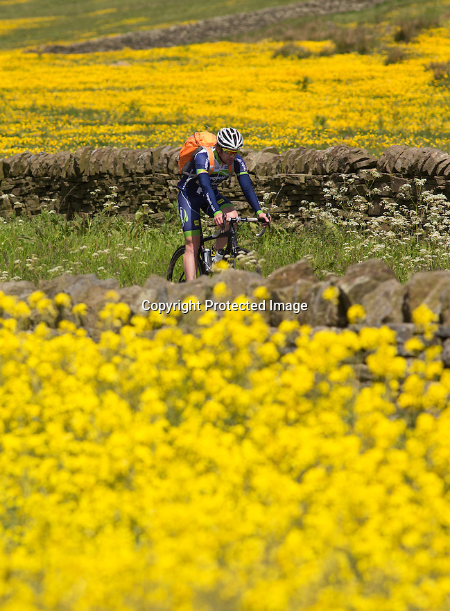 10/06/15<br /> <br /> Surrounded by buttercups and rapeseed, a cyclist makes his way through Britain's 'yellow and pleasant land' as the sun beats down near High Bradfield in the South Yorkshire Peak District.<br /> <br /> All Rights Reserved: F Stop Press Ltd. +44(0)1335 418629   www.fstoppress.com.