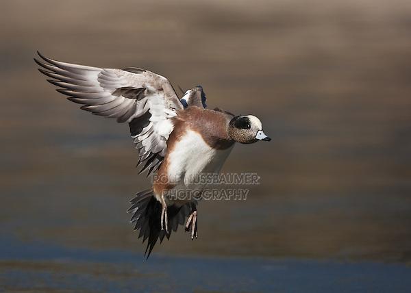 American Wigeon (Anas americana), male in flight, Socorro, New Mexico, USA