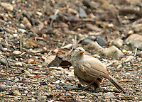 Stock photo: Jungle babbler standing on pebbles in a jungle in Gujarat, India.