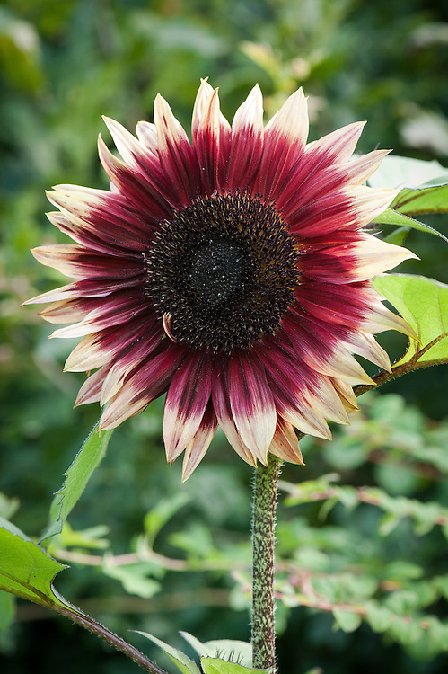 Helianthus annuus 'Ruby Eclipse', late July.