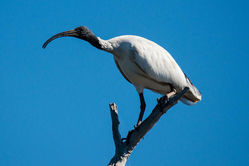 Australian White Ibis, Ballina, New South Wales.