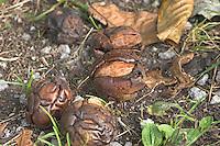 Walnuss, Walnuß, Wal-Nuss, Wal-Nuß, Reife Früchte, Nüsse, deren Fruchtschalen sowie Blätter am Boden, Juglans regia, Walnut, Noyer commun