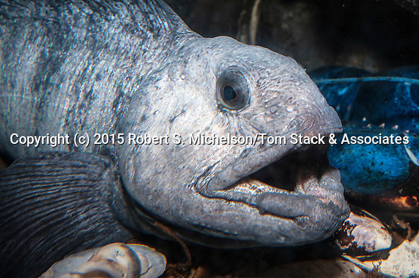 Atlantic wolffish facing right medium shot
