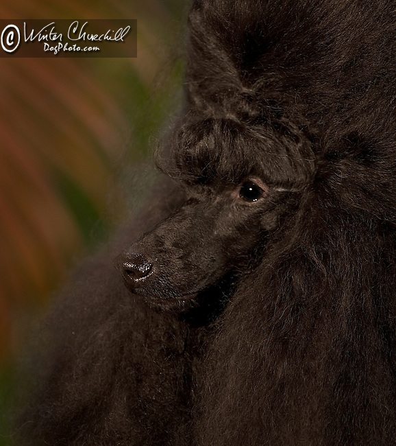 Poodle This dog is a Champion in 30 different countries Shopping cart has 3 Tabs:<br />