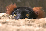 Red-ruffed Lemur (Varecia variegata rubra) found in the rainforests of northeastern Madagascar is one of the world's  largest lemurs.