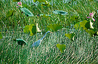 Egret (Ardea modesta) in a Swamp Northern Territory, Australia,