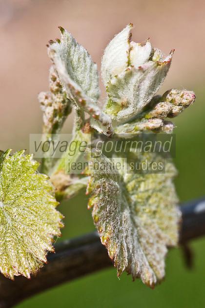 Europe/Europe/France/Midi-Pyrénées/46/Lot/Anglars-Juillac: Vignoble AOC Cahors du Château d'Anglars - Vigne en fleur, cépage Malbec