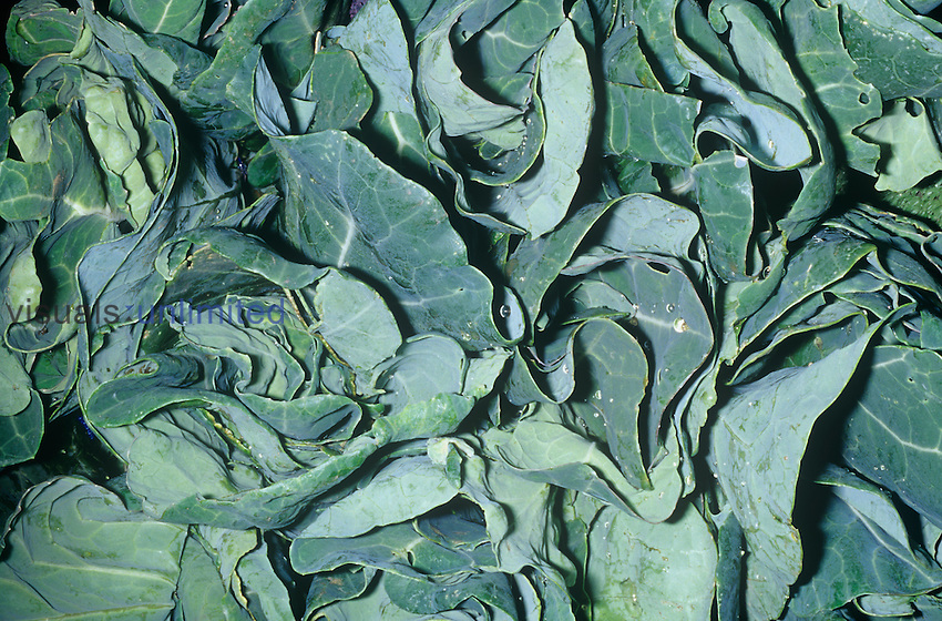 Collard Greens (Brassica oleracea var. acephala) native to Mediterranean Region.