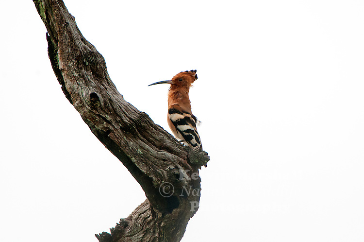 """Hoopoe /ˈhuːpuː/ (Upupa epops) is a colourful bird found across Afro-Eurasia, notable for its distinctive """"crown"""" of feathers. It is the only extant species in the family Upupidae. One insular species, the Saint Helena hoopoe, is extinct, and the Madagascar subspecies of the hoopoe is sometimes elevated to a full species. Bundala National Park - Sri Lanka."""