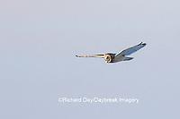 01113-02112 Short-eared Owl (Asio flammeus) in flight Prairie Ridge State Natural Area Marion Co. IL