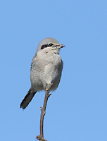 An adult northern shrike perches on top of a sapling as it rests between hunting forays.<br />