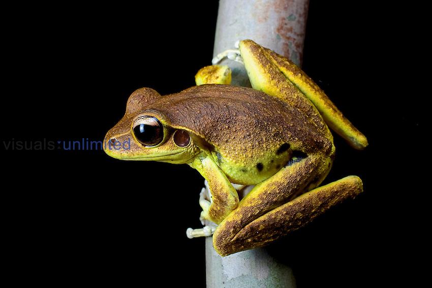 Lesueur's Tree Frog (Litoria lesueuri), Daintree River, North Queensland, Australia.