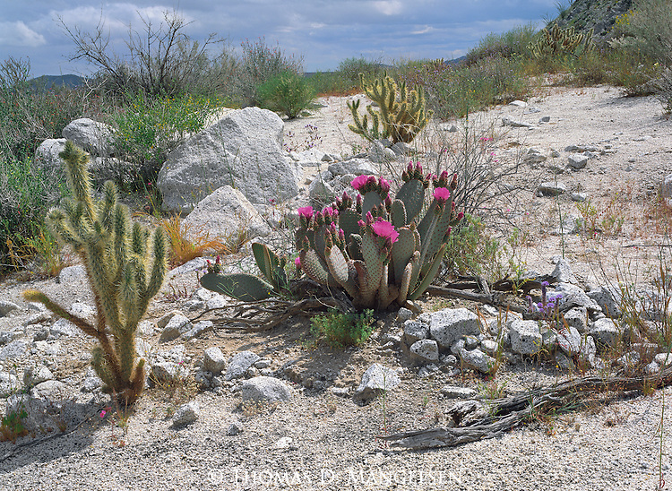 Prized by worldwide collectors and botanists and considered very rare, the flowers of the beavertail prickly pear cactus are among the most resplendent of all the varied cacti species.<br /> Anza-Borrego Desert State Park, California.