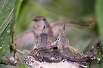 La Jolla, California; a female Anna's Hummingbird (Calypte anna) hovers, wings beating rapidly, near her nest with two, two week old chicks waiting to be fed