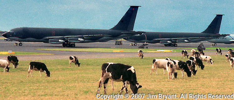 Dairy cattle share the airfield with USAF KC-110 Tanker while they graze on the Lajes Field Runway on Terceira, Azores. Far out in the Atlantic Ocean, some 850 miles off the western coast of Lisbon, Portugal lies the 425-mile long archipelago of the Azores. (Jim Bryant Photo).....