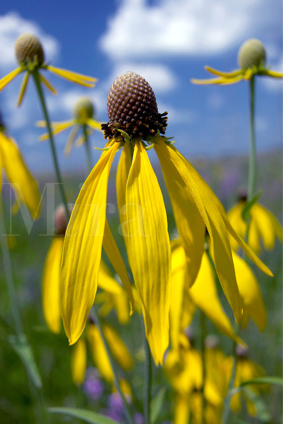 Yellow coneflower, Hayden Prairie State Preserve, Howard County, Iowa