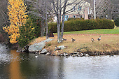Canada geese resting on residential area lawn